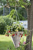 Hanging flower basket with strawberry (fragaria) hanging on tree