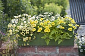 Green wooden box planted yellow-white, Argyranthemum frutescens