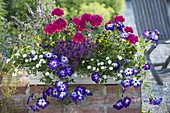 White box with Petunia 'Sanguna Radiant Blue', Pelargonium