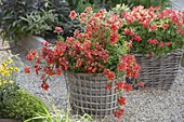 Nemesia Sunsatia Plus 'Clementine' in pot with basket