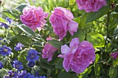 Rose 'Zephirine Drouhin', often flowering with a strong scent