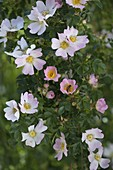 Rosa canina (dog rose), blossom with honeybee (Apis mellifica)