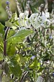 Salvia sclarea var. turkestanica 'Alba' - Weißblühender Muskatellersalbei