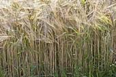 Barley (barley grass) in the cornfield