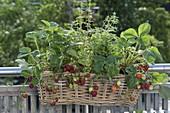 Basket with strawberries (Fragaria) and oregano (Origanum)