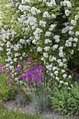 Fragrant Rosa multiflora (many-flowered Rose), Silene Armeria