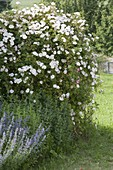 Rosa 'Bobby James' (Ramblerrose), einmalbluehend, stark duftend
