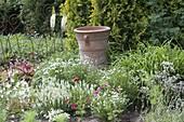 White bed with Salvia nemorosa 'snow hill'