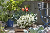 Box with Lobularia 'Primavera Princess', white cabbage