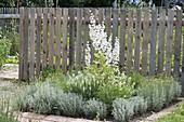 Santolina as herbal bed border