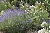 Lavender 'Munsted' (Lavandula angustifolia) next to Rosa (Rose)