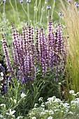 Salvia nemorosa 'Amethyst' (steppe sage, ornamental sage)