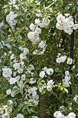 Pink 'innocence' (climbing rose), often flowering, strong scent