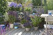 Blue Perennial Balcony with Phlox paniculata 'Violetta Gloriosa'