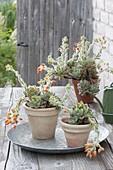 Flowering Echeveria pulvinata 'Doris Taylor' in clay pots