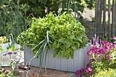 Pflücksalat 'Till' (Lactuca) mit Zwiebeln (Allium cepa) in Holzkasten