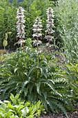 Morina longifolia (elves thistle, quince thistle)