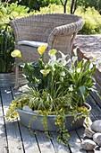 Flat zinc bowl with plants that love a lot of moisture