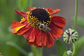 Helenium 'Moerheim Beauty' (Sun Bride)