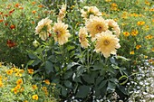 Dahlia yellow, in the middle of Tagetes tenuifolia