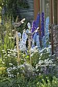Delphinium Magic Fountain Dark Blue Sky Blue, Leucanthemum