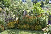 Helenium hybrids 'Waltraut' 'Wyndley', Tagetes tenuifolia