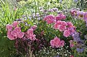 Rose 'Magic Meidiland', Gaura 'Lillipop pink', Monarda