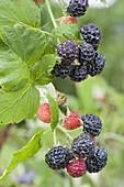 Black raspberry 'Black Jewel'