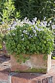Viola hederacea (Australian Violet)