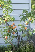 Apricot tree, and oregano