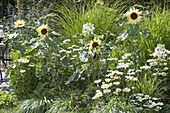 White-yellow flower bed with Helianthus annuus 'Buttercream'