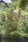Currants in a bed with hazel groves