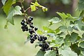 Blackcurrant 'Kir Royal' (Ribes nigrum)