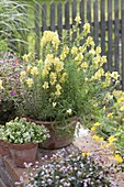 Linaria vulgaris in terracotta pot, white sand-thyme