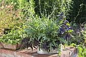 Herb box with arugula (Eruca), basil (Ocimum basilicum)