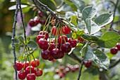 Sour cherry (morello) on branch
