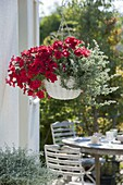Hanging basket with Petunia 'Deep Red' and Helichrysum 'Silver Star'