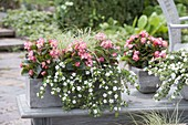 Gray box and pot with Begonia semperflorens, Bacopa
