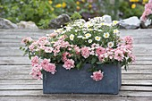 Gray box with Argyranthemum frutescens and Verbena