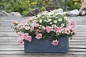 Gray box with Argyranthemum frutescens and Verbena