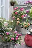 Rose terrace with pink 'Magic Meidiland', 'Ghislaine de Feligonde', 'Palace Rose