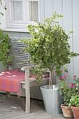 Gooseberry Trunks 'Hinnonmaeki Green' (Ribes uva-crispa)