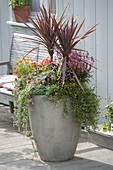 Tall gray pot with Cordyline australis 'Red Star'