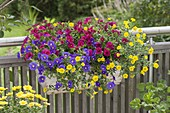 Balcony box with Calibrachoa Celebration 'Carnival'