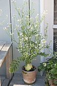 Blossoming radish in terracotta pot