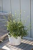 Senfrauke (Eruca vesicaria ssp. Sativa) in white pot