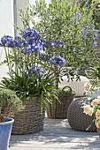 Agapanthus (Schmucklilien) und Olea europaea (Olivenbaeumchen)