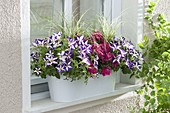 Balcony box at the window with Petunia 'Crazytunia Starlight Blue'
