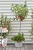 Berry balcony with red currant 'Rolan', bush and 'Rovada' strain