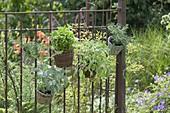 Baskets of herbs on rusty garden fence sage 'Berggarten' 'Icterina'